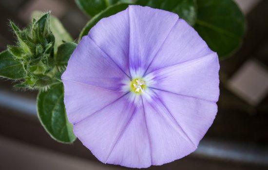 balkonpflanze blaue mauritius