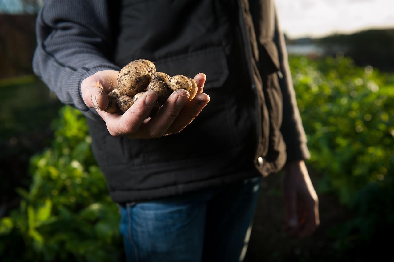 kartoffeln pflege