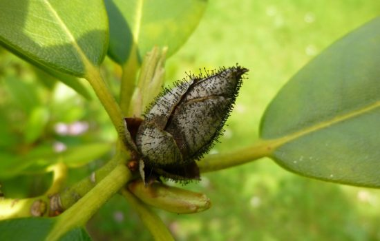 Rhododendronzikaden erfolgreich bekämpfen