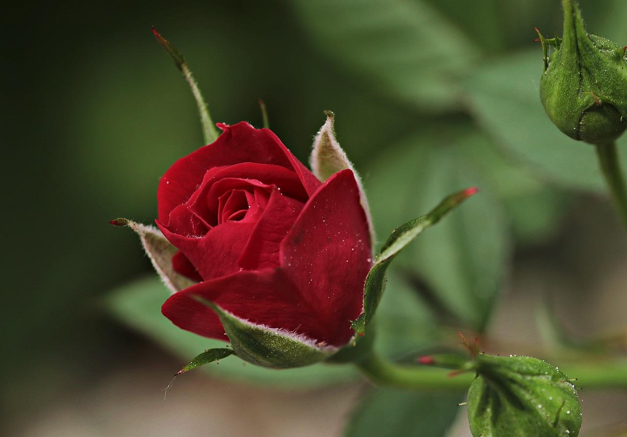 rosenstock im garten