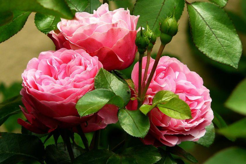 rosenstock blumen