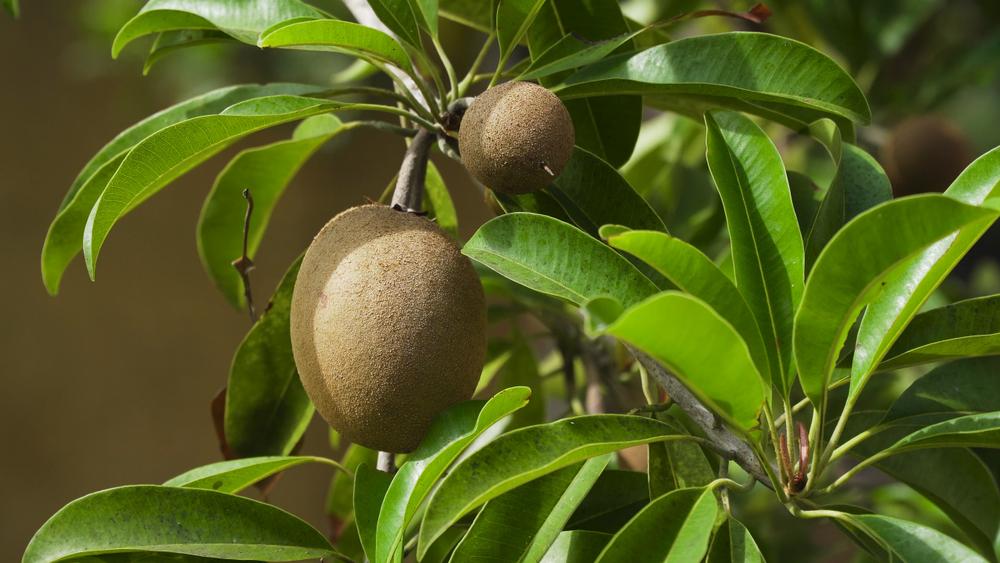 kiwibaum