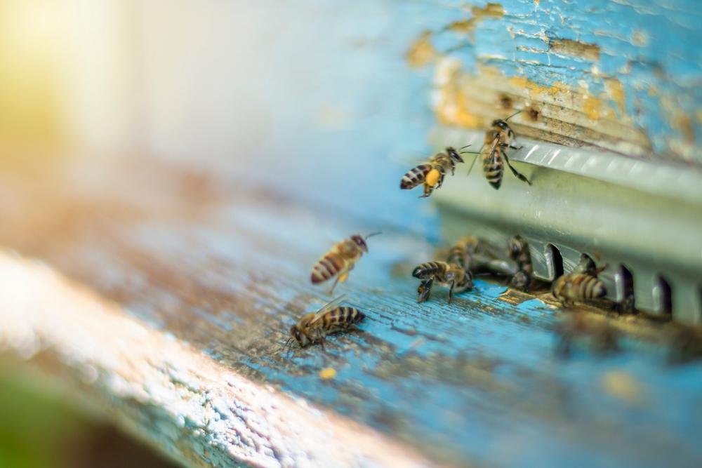 wildbienen auf nahrungssuche