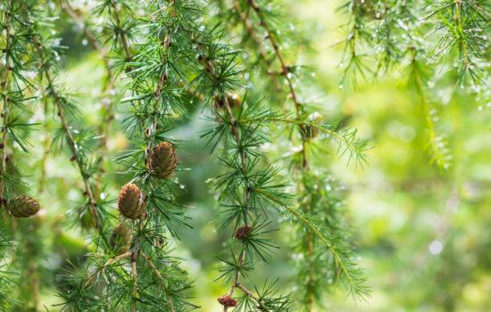 Schnellwachsende Nadelbäume